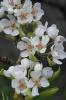 Flor de híbrido mazá-pera